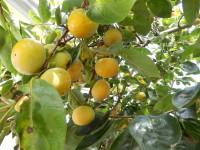 10/4現在まだ青い実も多いですが、これから先3回おいしい柿が給食につくことに・・・(11/13記す)