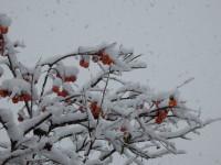 朱と雪のコラボ。美しい。南天ではなく「柿」です。!!!!(0 _0)//