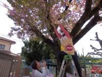 満開直前のボタン桜、きれいなうちに押し花にしましょ。
