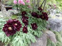 珍しい黒ボタン。真っ黒の花を咲かすのはは不可能だそう。髪の毛くらいは黒いかな。