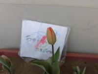 3月に植えたチューリップが次々咲いています。