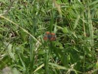 このチョウ、何て名前だっけ。調べなきゃ。あっ、ベニシジミ