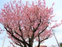 4.16たま桜