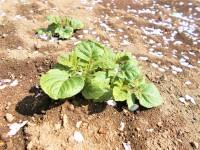 4.6じゃが芋の芽